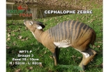 CEPHALOPHE ZEBRE NF